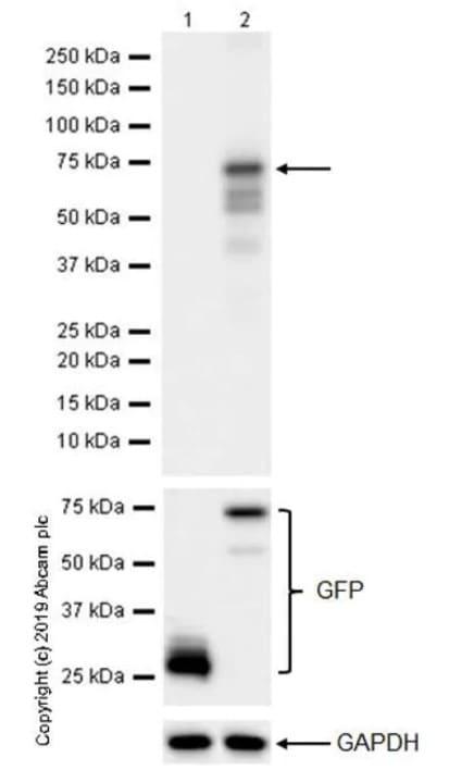 Western blot - Anti-FOXP3 antibody [236A/E7] - BSA and Azide free (ab96048)