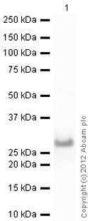 Western blot - Native Human Serum Amyloid P/SAP protein (ab96056)