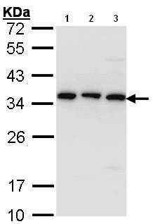 Western blot - Anti-CKAP1 antibody (ab96101)