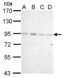 Western blot - Anti-CSDE1/NRU antibody (ab96124)