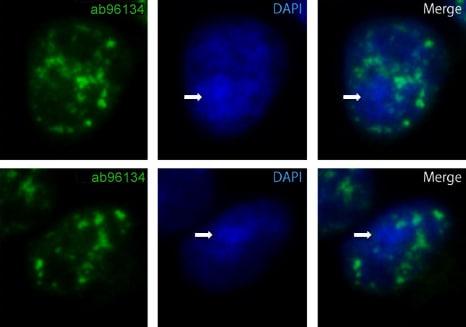 Immunocytochemistry/ Immunofluorescence - Anti-Nucleoporin p62/NUP62 antibody (ab96134)
