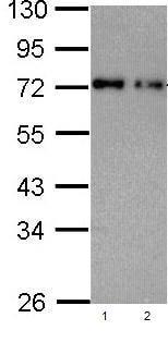 Western blot - Anti-Nucleoporin p62/NUP62 antibody (ab96134)