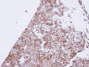 Immunohistochemistry (Formalin/PFA-fixed paraffin-embedded sections) - Anti-GIRK1 antibody (ab96168)