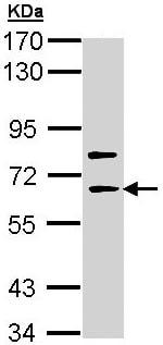 Western blot - Anti-SHC4 (phospho) antibody (ab96182)