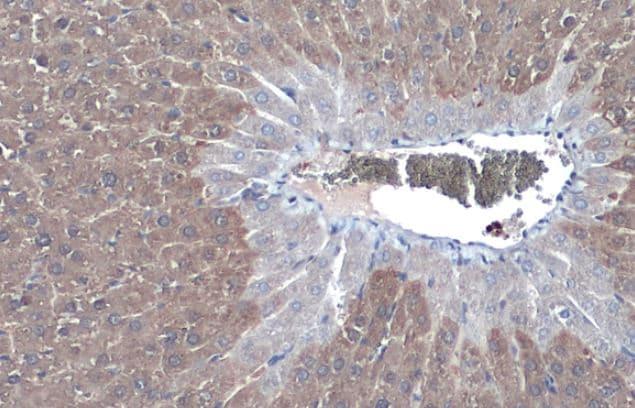 Immunohistochemistry (Formalin/PFA-fixed paraffin-embedded sections) - Anti-Liver Arginase antibody (ab96183)