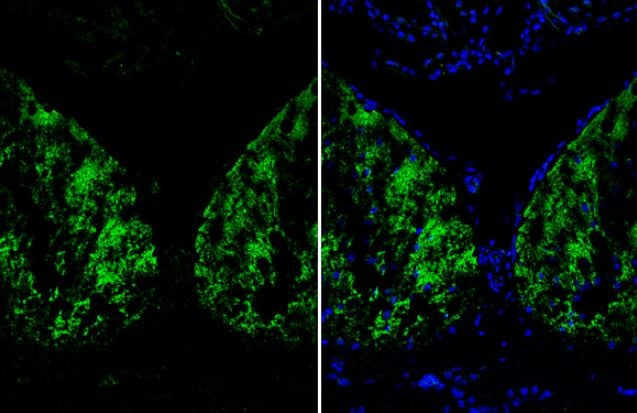 Immunohistochemistry (Frozen sections) - Anti-Liver Arginase antibody (ab96183)