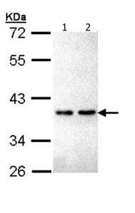 Western blot - Anti-ZNF346 antibody (ab96198)