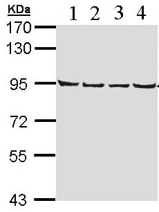 Western blot - Anti-LETM1 antibody (ab96237)