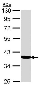 Western blot - Anti-Cortisol Binding Globulin antibody (ab96270)