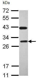 Western blot - Anti-Rab3C antibody (ab96360)