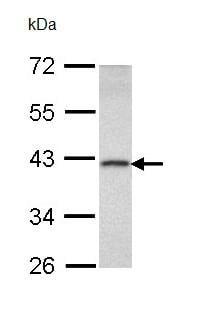 Western blot - Anti-DEDD antibody (ab96362)
