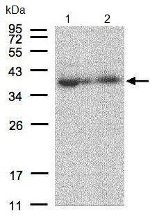 Western blot - Anti-MRPL3 antibody (ab96427)