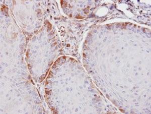 Immunohistochemistry (Formalin/PFA-fixed paraffin-embedded sections) - Anti-ASS1 antibody (ab96433)