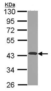 Western blot - Anti-NDUFA10 antibody (ab96449)