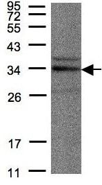 Western blot - Anti-NEK7 antibody (ab96538)