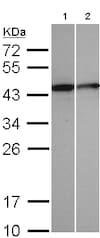Western blot - Anti-Selenophosphate synthetase 1 antibody (ab96542)