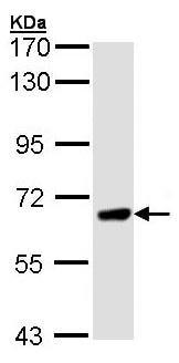 Western blot - Anti-PPEF1 antibody (ab96557)