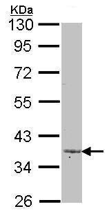 Western blot - Anti-LEFTY2 antibody (ab96564)