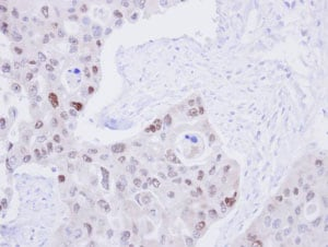 Immunohistochemistry (Formalin/PFA-fixed paraffin-embedded sections) - Anti-DNA Ligase III/LIG3 antibody (ab96576)