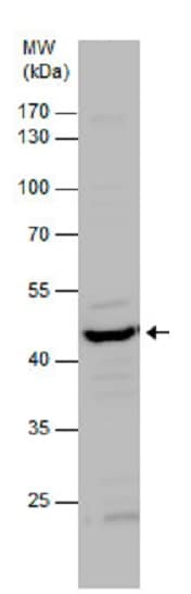 Western blot - Anti-Citrate synthetase antibody (ab96600)