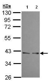 Western blot - Anti-UFD1L antibody (ab96648)