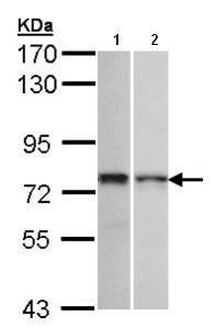 Western blot - Anti-ZNF398 antibody (ab96651)