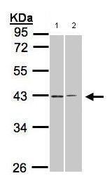 Western blot - Anti-GALR2 antibody (ab96702)