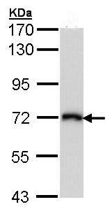 Western blot - Anti-CD98 antibody (ab96721)