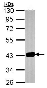 Western blot - Anti-GRAP2 antibody (ab96722)