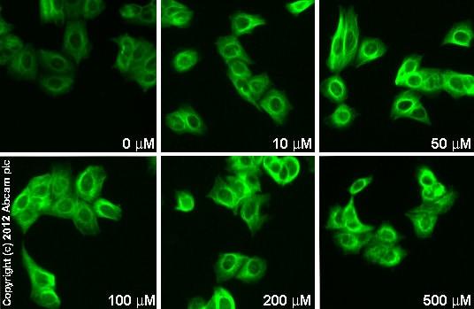 Immunocytochemistry/ Immunofluorescence - Anti-15-PGDH antibody (ab96732)