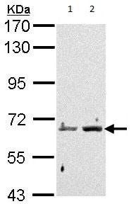 Western blot - Anti-PADI4 / PAD4 antibody (ab96758)
