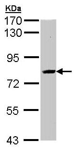 Western blot - Anti-SAH3 antibody (ab96802)