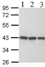 Western blot - Anti-RFC4 antibody (ab96852)