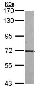 Western blot - Anti-KLC1 antibody (ab96855)