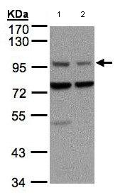 Western blot - Anti-Axin 1 antibody (ab96856)