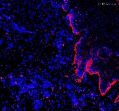 Immunohistochemistry (Frozen sections) - Goat Anti-Rabbit IgG H&L (DyLight® 650) (ab96886)