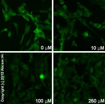免疫细胞化学/免疫荧光-山羊抗兔IgG H&L(DyLight®488)预吸收(ab96899)
