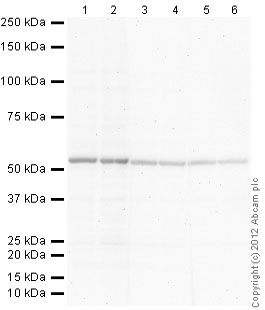 Western blot - Donkey Anti-Goat IgG H&L (Alkaline Phosphatase) (ab97107)