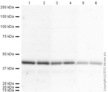 Western blot - Donkey Anti-Goat IgG H&L (HRP) (ab97110)
