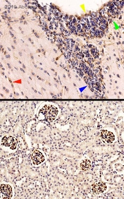 Immunohistochemistry (Formalin/PFA-fixed paraffin-embedded sections) - Goat Anti-Chicken IgY H&L (Biotin) (ab97133)