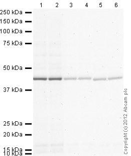 Western blot - Rabbit Anti-Chicken IgY H&L (Alkaline Phosphatase) (ab97137)
