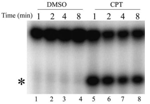 Western blot - Goat Anti-Mouse IgG1 (HRP) (ab97240)
