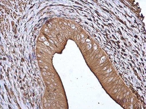 Immunohistochemistry (Formalin/PFA-fixed paraffin-embedded sections) - Anti-14-3-3 beta antibody (ab97273)