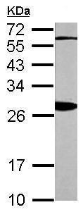Western blot - Anti-14-3-3 beta antibody (ab97273)