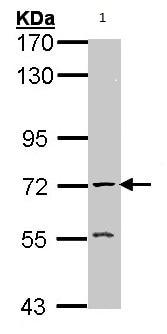 Western blot - Anti-Acetylcholinesterase antibody (ab97299)