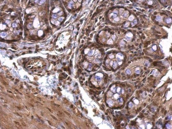 Immunohistochemistry (Formalin/PFA-fixed paraffin-embedded sections) - Anti-Acetylcholinesterase antibody (ab97299)