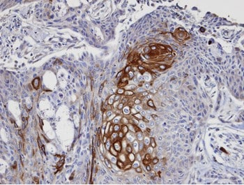 Immunohistochemistry (Formalin/PFA-fixed paraffin-embedded sections) - Anti-P97/DAP5 antibody (ab97302)