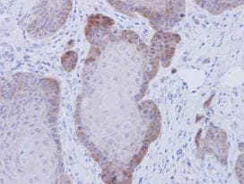 Immunohistochemistry (Formalin/PFA-fixed paraffin-embedded sections) - Anti-FKBP52 antibody (ab97306)