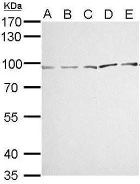 Western blot - Anti-MVP antibody (ab97311)