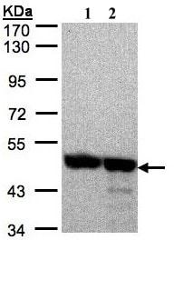 Western blot - Anti-Annexin VII antibody (ab97323)